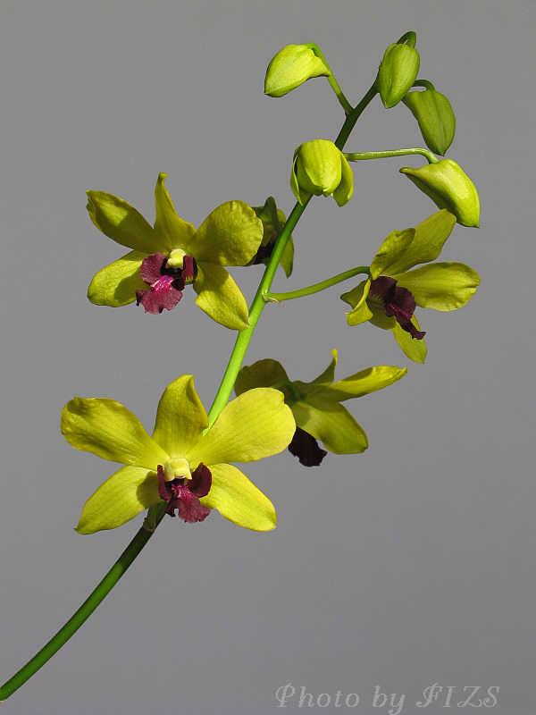 egy szál orchidea