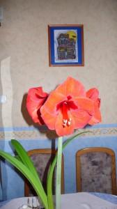 Tűzpiros amarilisz